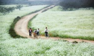 Mùa cải trắng ở Mộc Châu