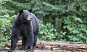 Gấu tấn công du khách khi cắm trại