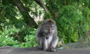 Cuộc tấn công của loài khỉ nơi rừng thiêng Bali