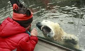 Cậu bé ngã ngửa vì gấu trắng lao vào cửa kính tấn công