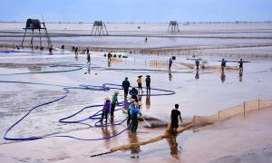 Cánh đồng nuôi ngao trên bãi biển Đồng Châu - Thái Bình