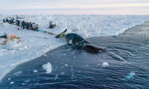 Cuộc đi săn cá voi 70 tấn của người Eskimo ở cực Bắc