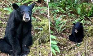 Gấu hoang bị bắn chết vì quá nhiều du khách cho ăn, chụp ảnh