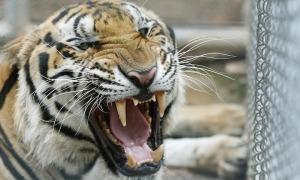 Hổ chết hàng loạt sau khi được giải cứu