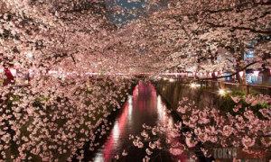Những nơi ngắm hoa anh đào đẹp nhất Tokyo