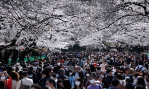 Hàng nghìn người đổ xô ngắm hoa anh đào