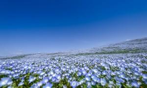 Biển hoa nở rộ không một bóng khách tham quan