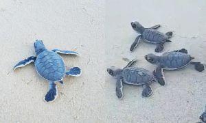 Thả rùa về biển