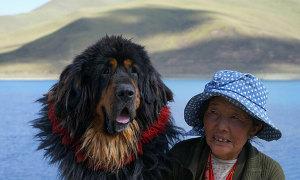 Giống chó khổng lồ của người Tây Tạng