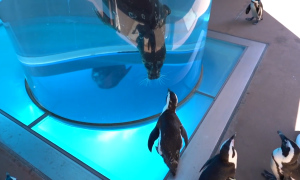 Chim cánh cụt dạo chơi trong thủy cung