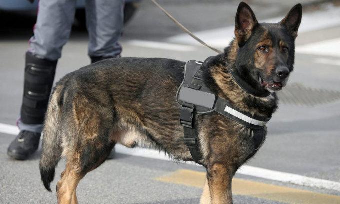 Dubai dùng chó đánh hơi người nhiễm nCoV
