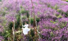 Đồi hoa tím gây thương nhớ ở Sa Pa