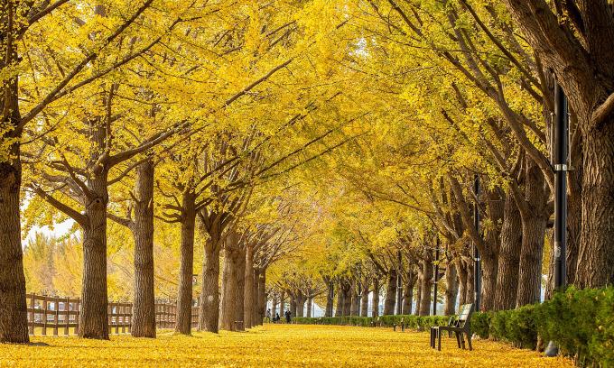 Mùa thu vàng xứ kim chi
