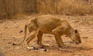Vườn thú để động vật chết đói gần hết