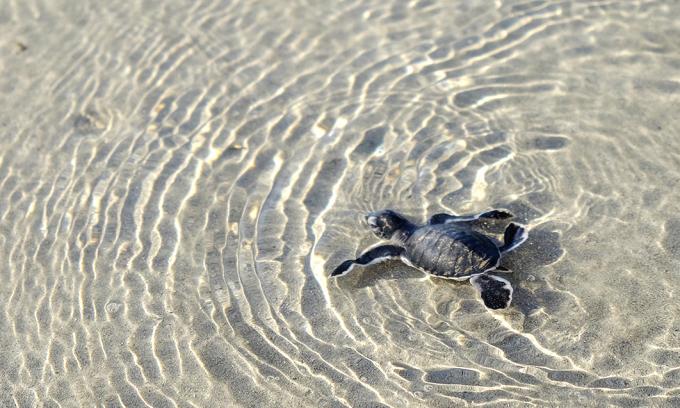 Thả rùa biển sáng sớm ở Côn Đảo