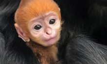 Vườn thú Mỹ đặt tên tiếng Việt cho voọc