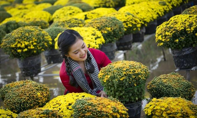 250.000 giỏ cúc mâm xôi phục vụ mùa Tết