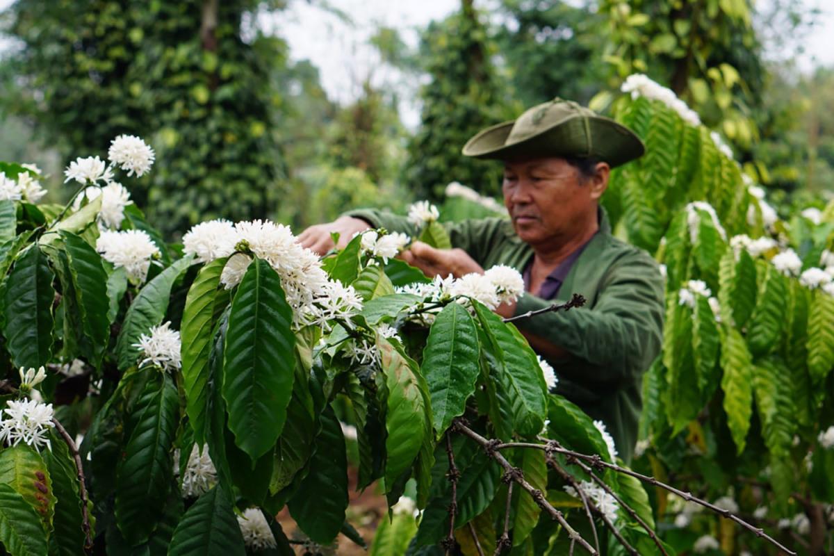 Mùa hoa cà phê trong mắt người con Tây Nguyên - VnExpress Du lịch