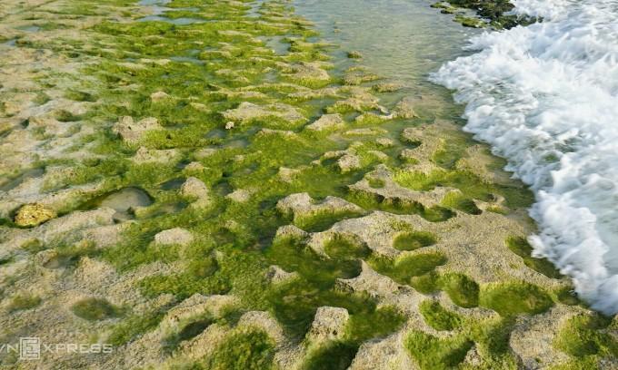 Mùa rêu ở đảo Lý Sơn