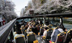 Ngồi xe buýt ngắm hoa anh đào