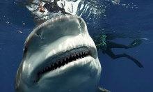 Bất ngờ chạm trán cá mập khổng lồ