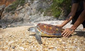 Thả rùa về biển Sơn Trà