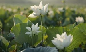 Mùa sen ở ngoại ô xứ Huế