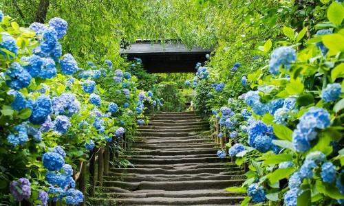 Lạc vào thiên đường hoa cẩm tú cầu ở Nhật