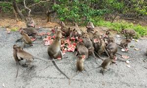 Người mang đồ ăn cho hàng nghìn con khỉ Cần Giờ mùa dịch