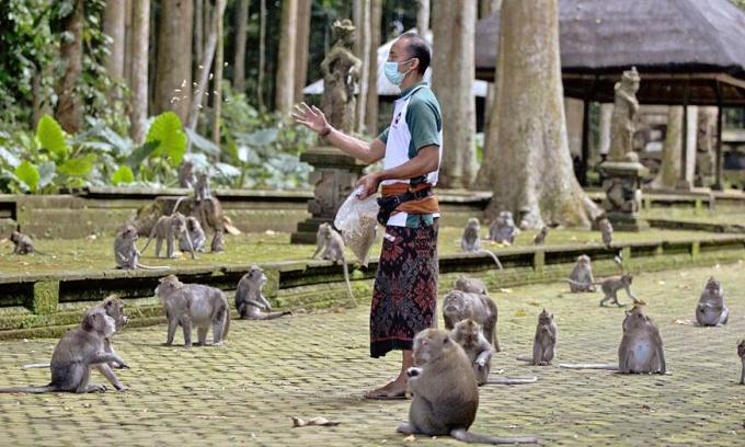 Vắng khách du lịch, khỉ Bali vào nhà dân kiếm ăn