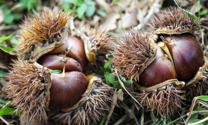 Mùa hạt dẻ Trùng Khánh