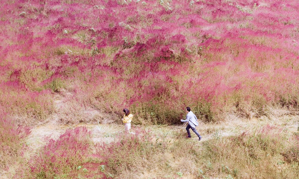 Đồi cỏ lau rực hồng ở Đà Lạt