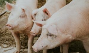 Sân bay Hà Lan thuê lợn làm 'nhân viên'